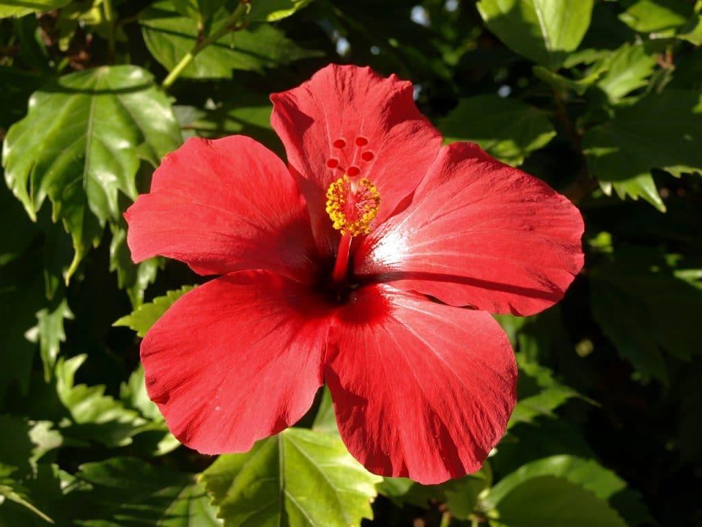 fleur d'hibiscus, plantes pour perdre du poids