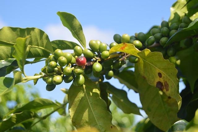 Peut-on maigrir avec le café vert ?